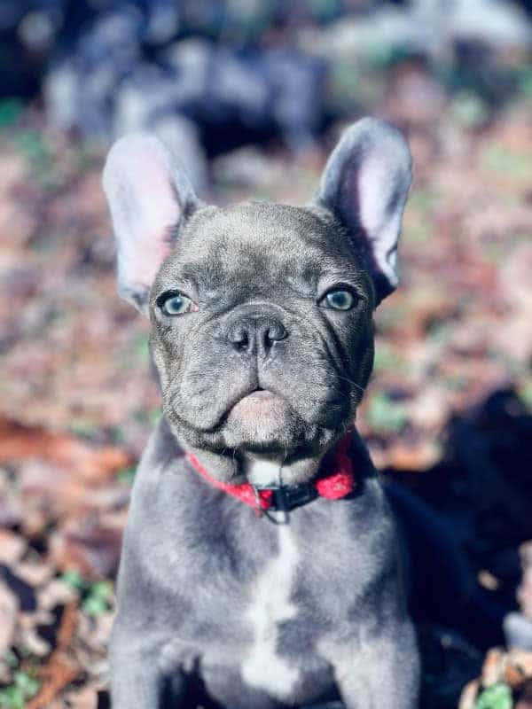 7 French Bulldog Facts that Might Surprise and Astound You