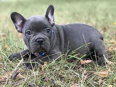 Bronx - Blue French Bulldog Puppy