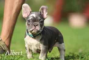Albert - Blue Merle Puppy