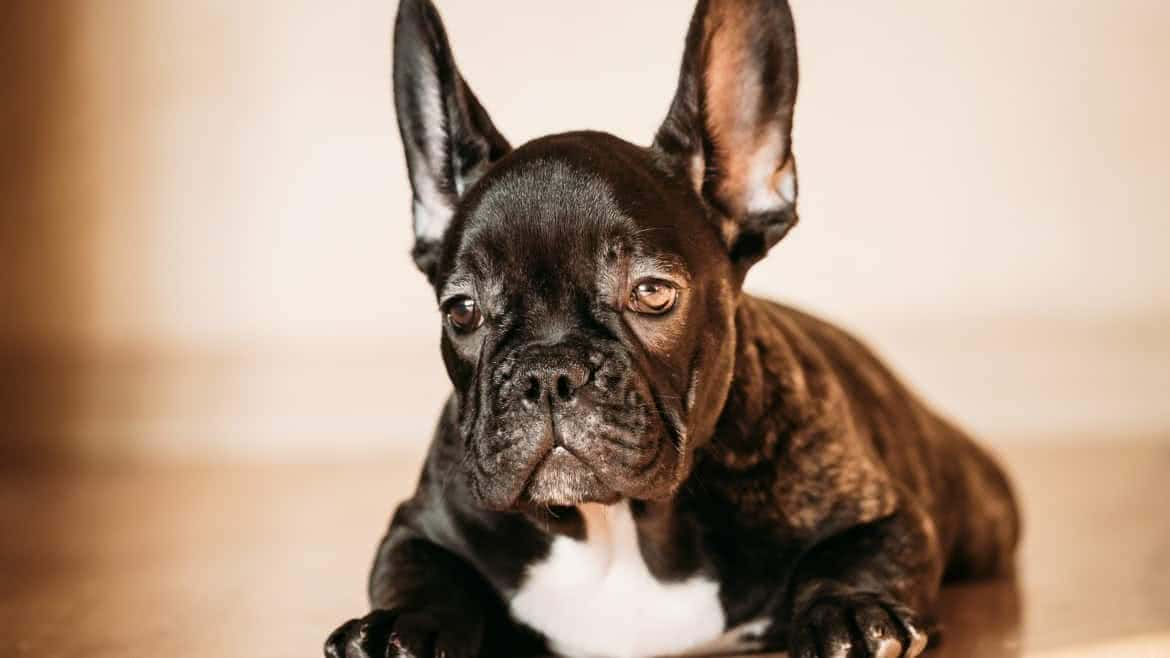 Cheap French Bulldog Puppies Under $500 | Ethical Frenchie