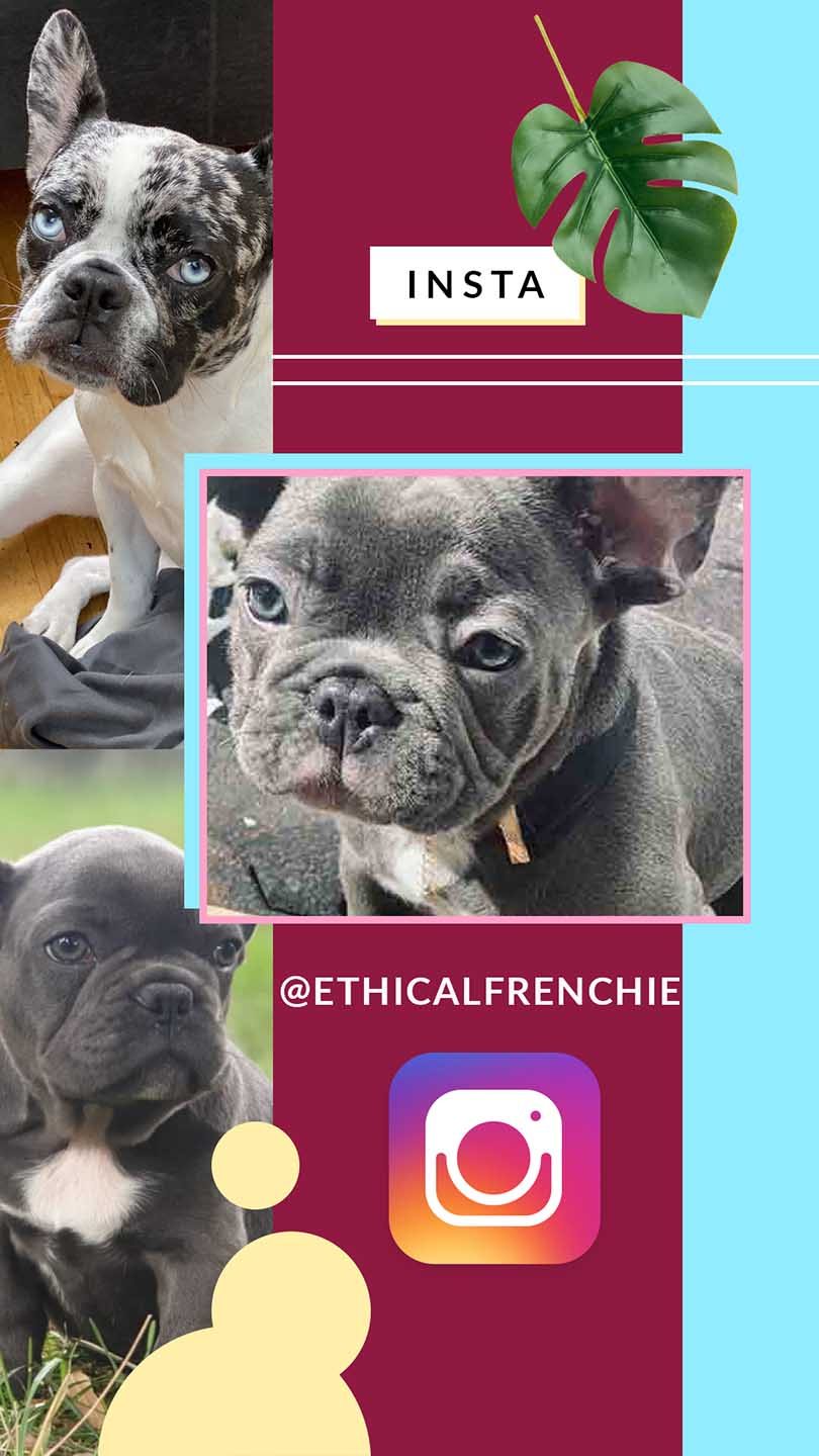 Cheap French Bulldog Puppies Under 500 Ethical Frenchie